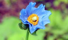 REFORD GARDENS   |      EMBLEM     |     BLUE POPPY |   PAVOT BLEU          |     REFORD GARDENS  |      LES JARDINS DE METIS  |  METIS   |  GASPESIE  |  QUEBEC  |  CANADA (J P Gosselin) Tags: reford gardens | emblem blue poppy pavot bleu les jardins de metis gaspesie quebec canada canon 7d 7dmarkii rebel t2i canonrebelt2i eos canon7d markii rebelt2i canonrebel canont2i eost2i eos7d eos7dmarkii mark 2 mark2 eos7dmark2 canon7dmarkii ii canoneosrebelt2i canoneos7d canoneos ph:camera=canon meconopsis betonicifolia