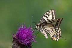 Pääsusaba; Papilio machaon; Swallowtail (urmas ojango) Tags: lepidoptera liblikalised insecta putukad insects butterfly ratsulibliklased papilionidae pääsusaba papiliomachaon swallowtail