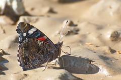 Admiral; Vanessa atalanta; Red Admiral (urmas ojango) Tags: lepidoptera liblikalised insecta putukad insects butterfly koerlibliklased nymphalidae admiral vanessaatalanta redadmiral