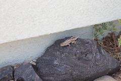 IMG_9829 (armadil) Tags: sacramentovalley nativeplanttour lizard fencelizard westernfencelizard reptile reptiles