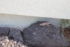 IMG_9830 (armadil) Tags: sacramentovalley nativeplanttour lizard fencelizard westernfencelizard reptile reptiles