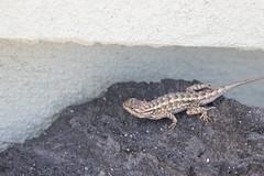 IMG_9832 (armadil) Tags: sacramentovalley nativeplanttour lizard fencelizard westernfencelizard reptile reptiles