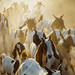 Goats Being Herded on Dusty Road, Myannmar