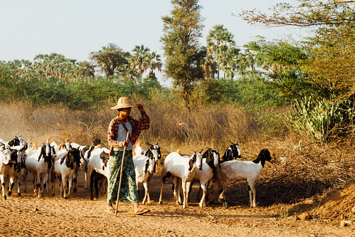 Shepherd Herding Goats, Bagan Myanmar