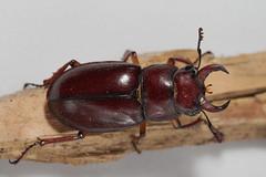 Fresh stag beetle (cotinis) Tags: insect beetle coleoptera lucanidae lucanus lucanuscapreolus stagbeetle reddishbrownstagbeetle northcarolina piedmont canonefs60mmf28macrousm inaturalist