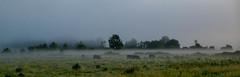 Scene matinale (patrick Thiaudiere, + 3 millions view) Tags: misty mist brouillard brume vache cow prairie matin morning tree arbre