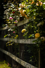 Breaking out (tonguedevil) Tags: outdoor outside countryside summer nature garden fence roses flowers colour light shadows sunlight fujifilm