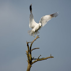 landing (Håkan Jylhä (Thanks for +1000000 views)) Tags: seagull fiskmås tree träd landing landar white vit bird fågel sweden sverige sony rx10iv håkan jylhä