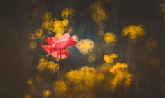 Poppy (Dhina A) Tags: sony a7rii ilce7rm2 a7r2 a7r minolta rf rokkorx 250mm f56 mirror reflex minolta250mmf56 md prime rokkor bokeh manualfocus poppy flower summer