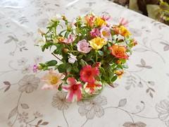 Portulaca grandiflora Hook. Portulacaceae-Portulaca rose, แดงสวรรค์ (SierraSunrise) Tags: colorful cut esarn flowers isaan nongkhai pastel phonphisai portulaca portulacaceae thailand