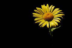 190630ANAYET021 (MAVARAS) Tags: mavaras yelow amarillo flower flor black