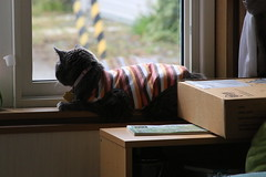 Argent's Reality TV 3 (sjrankin) Tags: 3july2019 edited animal cat argent window tunic zoom road windowsill livingroom kitahiroshima hokkaido japan