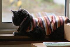 Argent's Reality TV 1 (sjrankin) Tags: 3july2019 edited animal cat argent window tunic zoom road windowsill livingroom kitahiroshima hokkaido japan