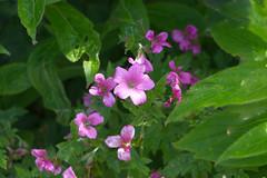 Flowers (alisonhalliday) Tags: pink green flowers flora nature canoneos77d canonefs18135mm macro cmwdpinkpurple cmwd