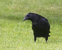 Carrion Crow (Chris.Kookaburra) Tags: corone corvuscorone carrion crow carrioncrow bird birds birdwatching birding ornithology avian dsc2236