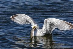 Möwe (siegmarkälberer) Tags: möwe vogel wasservogel bird waterbird aal natur nature eel meer
