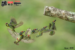 My camera gears setup (Ken Goh thanks for 3 Million views) Tags: coppersmith barbet clean creamy green background pose flight action sequence high fps wild avian no people nature pentax k3 sigma 500f45