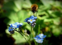 Wollschweber am Vergissmeinnicht (karin_b1966) Tags: blume flower blüte blossom pflanze plant insekt insect garten garden natur nature 2019 vergissmeinnicht forgotmenot wollschweber