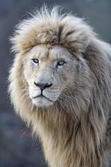 The pretty Zumba (Tambako the Jaguar) Tags: lion big wild cat male white close portrait face pretty beautiful gorgeous mane calm looking attentive standing posing siky park zoo crémines switzerland nikon d5