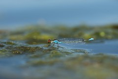 Erythromma viridulum (~ Jessy S ~) Tags: nikon d750 nikond750 nikkor 105mm 105 28 macro macrophotographie micro closeup nature life insectes insects bug bugs dragonfly libellule agrion