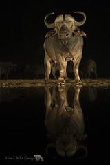 Big Boy (PamsWildImages) Tags: night reflection pamswildimages africa wildlife nature buffalo