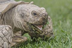 Don't smile with your mouthful (davidrhall1234) Tags: sulcatatortoise africanspurredtortoisecentrochelyssulcata animal countryside farmland nature nikon outdoors portrait wildlife world tortoise reptile