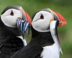 Puffins (eric robb niven) Tags: ericrobbniven scotland puffins wildlife wildbird springwatch dundee isle may firthofforth
