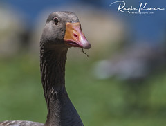 Wildlife in England (rvk82) Tags: 2018 birds england july july2018 kent nikkor200500mm nikon nikond850 rvk rvkphotography raghukumar raghukumarphotography wildlife rvkonlinecom rvkphotographycom rvkphotographynet broomfield unitedkingdom