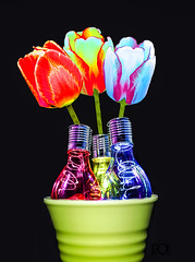 Tulipa bulbi lux CXIX MMXIX in imaginibus