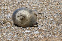 Common Seal (robin denton) Tags: northnorfolkcoast nature wildlife norfolk eastcoast coast commonseal blakeney blakeneypoint nationaltrust phocavitulina seal mammal animal shingle