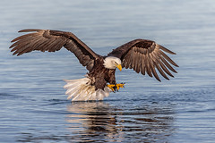 Independence Day Treat (Andy Morffew) Tags: baldeagle fishing kachemakbay alaska independenceday july4th nationalbird eagle andymorffew morffew naturethroughthelens inexplore explored