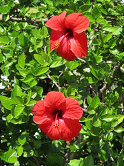 Back to Olhao, for Manfred's birthday ... (monika & manfred) Tags: mm olhao revisit portugal algarve faro islands culatra farol birthday holidaysà3 warmth weather swim red flower hibiscus inbloom