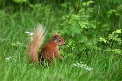 Red Squirrel (Sciurus vulgaris) (andrewmckie) Tags: sciurusvulgaris redsquirrel rothiemurchus scotland scottishwildlife scottish wildlife mammals squirrel
