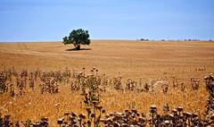 El solitario del trigal (pascual 53) Tags: xabi canon 1dmarkiii trigo plantacion almendro cardossecos verano cosecha 70200mm navarra funes paisaje pascual53