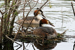 grebes on the nest (Alan Smith IoM) Tags: grebes