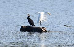 Cormorant and Egret (Geo Scouter) Tags: wildwoodlake comorant egret harrisburg pennsylvania