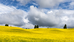 Palouse Gold (robert_golub) Tags: clouds yellow canola farm field washingtonstate gold palouse