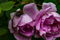 Death Bed (langdon10) Tags: norway bee flower flowers insect leaf macro rose