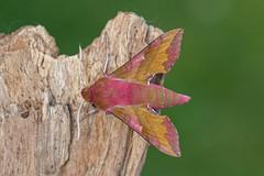 small elephant hawk-moth f (colin 1957) Tags: smallelephant hawkmoth moth