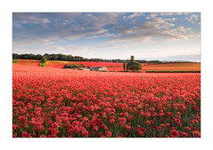 The Red Sea (Dave Fieldhouse Photography) Tags: poppy poppies field farm crops flowers wildflower landscape worcestershire evening clouds light shadow england grass countryside summer fujixt2 fujifilm fuji wwwdavefieldhousephotographycom