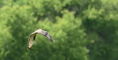 Bondrée apivore (Guillaume Dardant) Tags: nature sauvage oiseaux bird rapaces loiret d810 nikon 500mmf4 accipitridés bondréeapivore accipitriformes pernisapivorus europeanhoneybuzzard