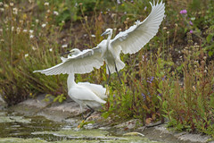 TWO BECOME ONE (Paul wrights reserved) Tags: egret egrets bird birds birdinflight egretinflight beautiful beauty wing wings wingspan nikon d500 nature naturephotography wildlife wildlifephotography wildanimal wildflowers