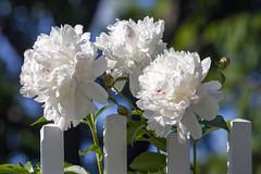 Peonies (Lucie Maru) Tags: peonies flowers blooms blooming flower summer sun white whiteflowers whiteblooms