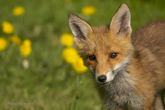 Young Red Fox (PeterBrooksPhotography) Tags: vulpesvulpes 200500 cub d500 eastsussex eastbourne eveninglight garden nikon peterbrooksphotography season stare summer sun sunset sussex uk wildlife habitat mammal redfoxvulpesvulpes wild ©peterbrooks