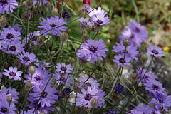 Thésée-la-Romaine (Loir-et-Cher) (sybarite48) Tags: france loiretcher théséelaromaine blue flower fleur azul blauw blu flor bleu blau 花 blume fiore niebieski 青 bloem çiçek زهرة kwiat 鲜花 蓝色 цветок λουλούδι أزرق μπλε catananche catananchecaerulea cupidone mavi синий