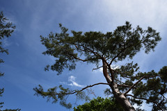 Pine, reaching for the skies (Abhay Parvate) Tags: pine tree blue sky nature sun