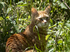 Ginger in the undergrowth (PJD_Photos) Tags: ginger gingercats cats cat feline undergrowth grass