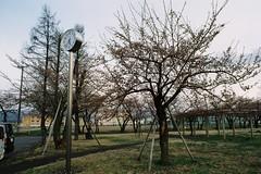 5:35 p.m. (しまむー) Tags: minolta srt101 mc rokkor 50mm f14 kodak gold 200 桜