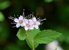 Spirea 518 (jmunt) Tags: gardenflower shrub spirea