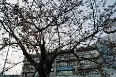 Hide and seek (しまむー) Tags: minolta srt101 mc rokkor 50mm f14 kodak gold 200 桜